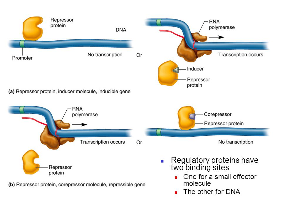 Regulatory proteins have two binding sites One for a small effector molecule The other for DNA