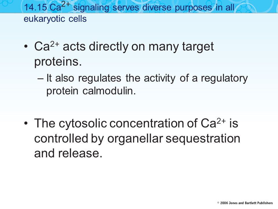 Ca 2+ acts directly on many target proteins.