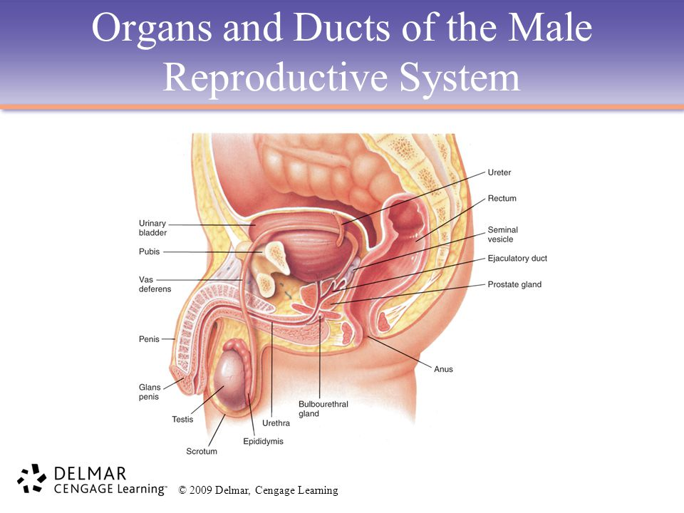 Organs and Ducts of the Male Reproductive System
