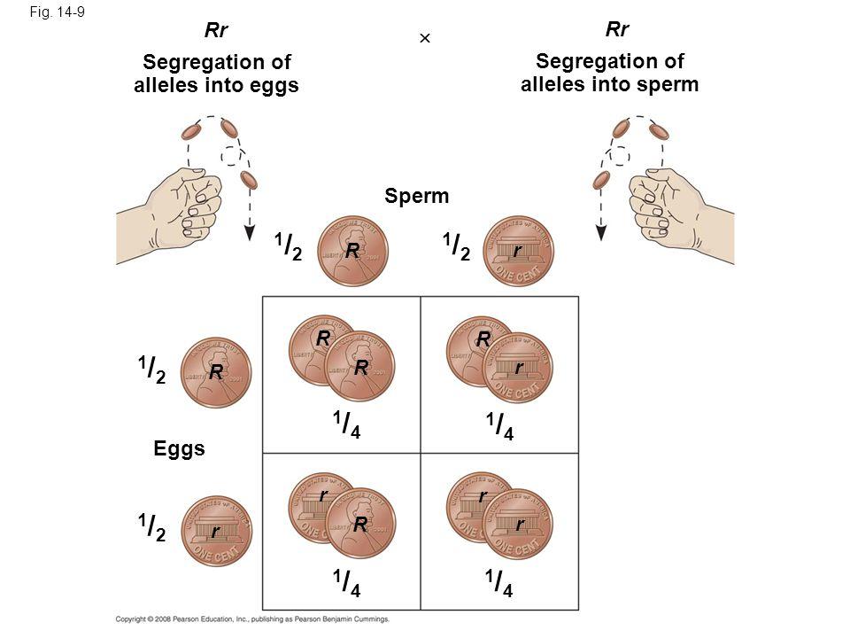 Fig. 14-9 Rr  Segregation of alleles into eggs Sperm R R R R R R r r r r r r 1/21/2 1/21/2 1/21/2 1/21/2 Segregation of alleles into sperm Eggs 1/41/