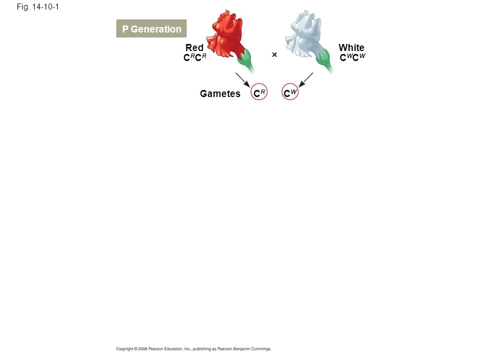 Fig. 14-10-1 Red P Generation Gametes White CRCRCRCR CWCWCWCW CRCR CWCW