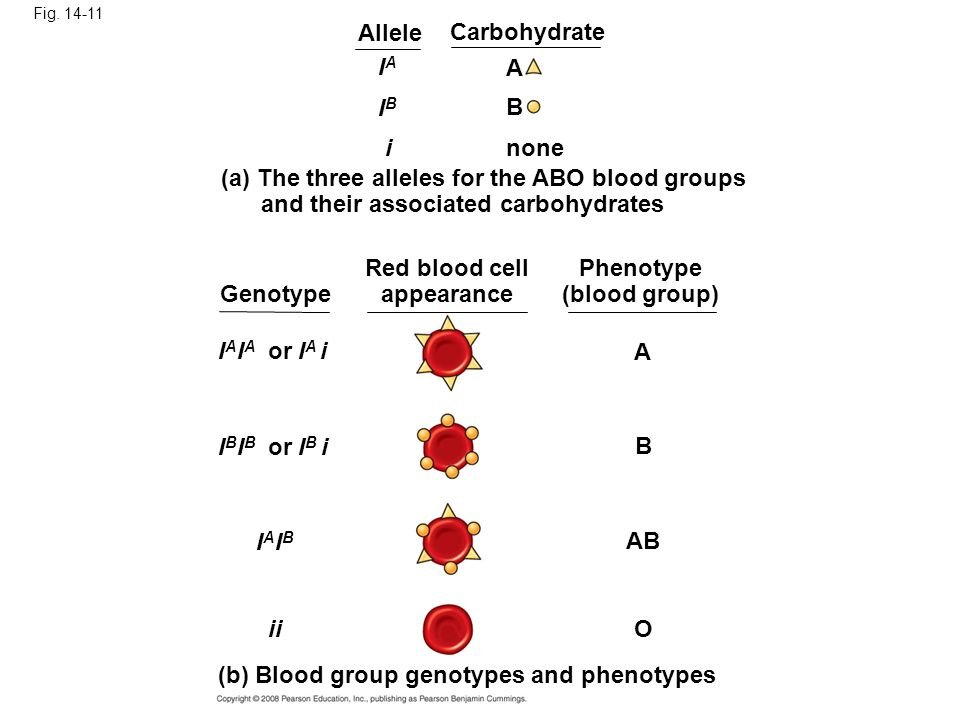 Fig. 14-11 IAIA IBIB i A B none (a) The three alleles for the ABO blood groups and their associated carbohydrates Allele Carbohydrate Genotype Red blo
