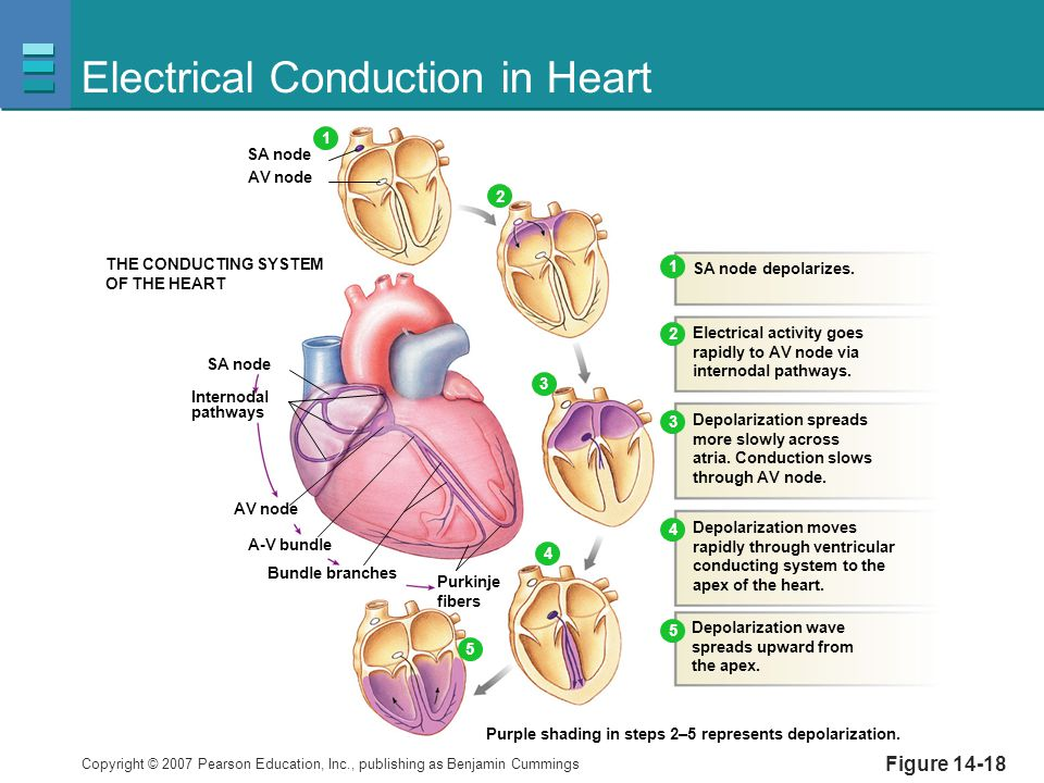 Copyright © 2007 Pearson Education, Inc., publishing as Benjamin Cummings Figure 14-18 Electrical Conduction in Heart THE CONDUCTING SYSTEM OF THE HEA