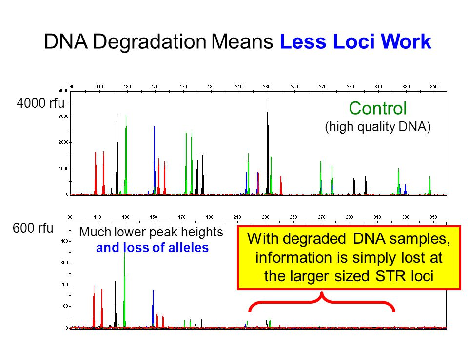 DNA Degradation Means Less Loci Work Control (high quality DNA) Degraded 4000 rfu 600 rfu Much lower peak heights and loss of alleles With degraded DNA samples, information is simply lost at the larger sized STR loci