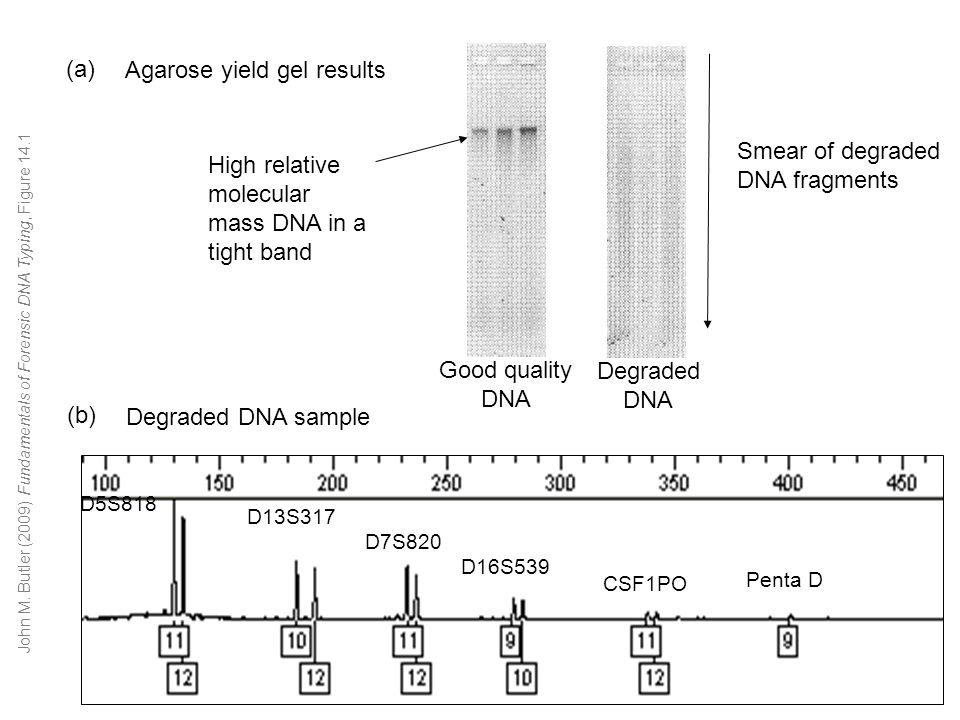 Degraded DNA sample D5S818 D13S317 D7S820 D16S539 CSF1PO Penta D Agarose yield gel results Smear of degraded DNA fragments High relative molecular mass DNA in a tight band (a) (b) Good quality DNA Degraded DNA John M.