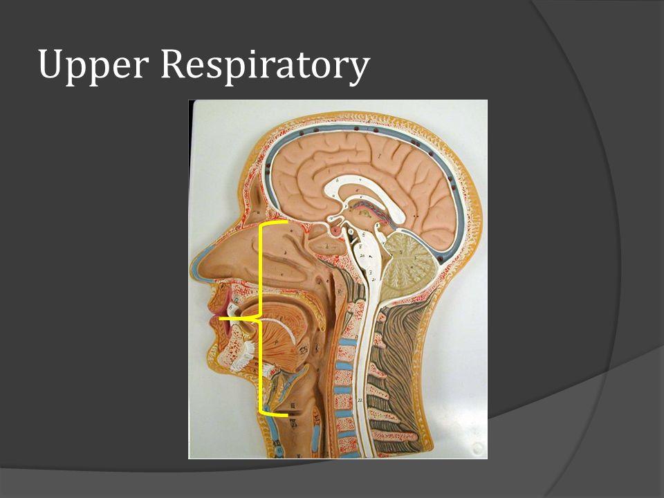 Upper Respiratory