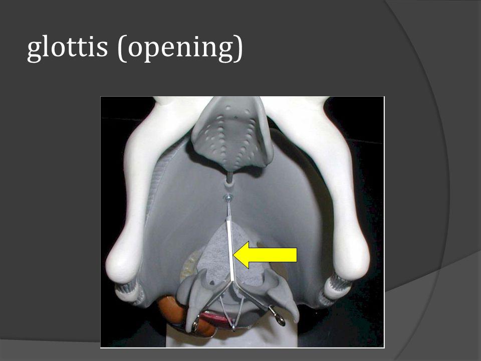 glottis (opening)