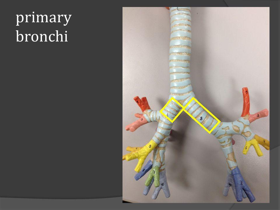 primary bronchi