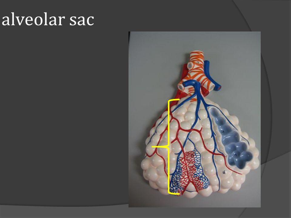 alveolar sac