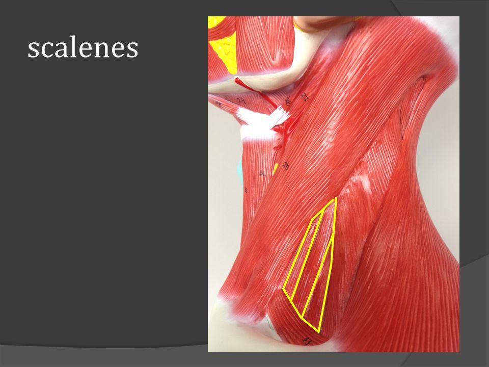 scalenes