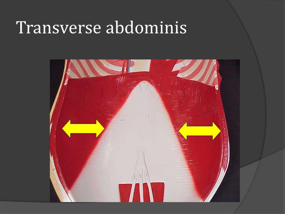 Transverse abdominis