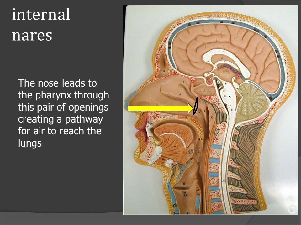 internal nares The nose leads to the pharynx through this pair of openings creating a pathway for air to reach the lungs