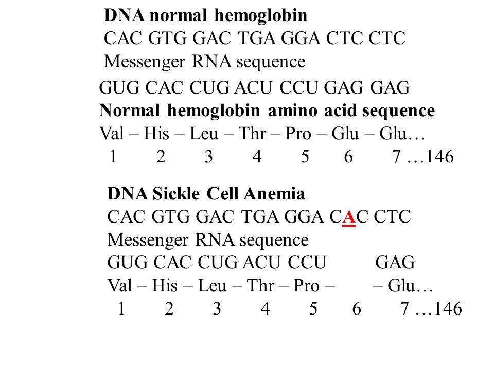 DNA normal hemoglobin CAC GTG GAC TGA GGA CTC CTC Messenger RNA sequence GUG CAC CUG ACU CCU GAG GAG Normal hemoglobin amino acid sequence Val – His –