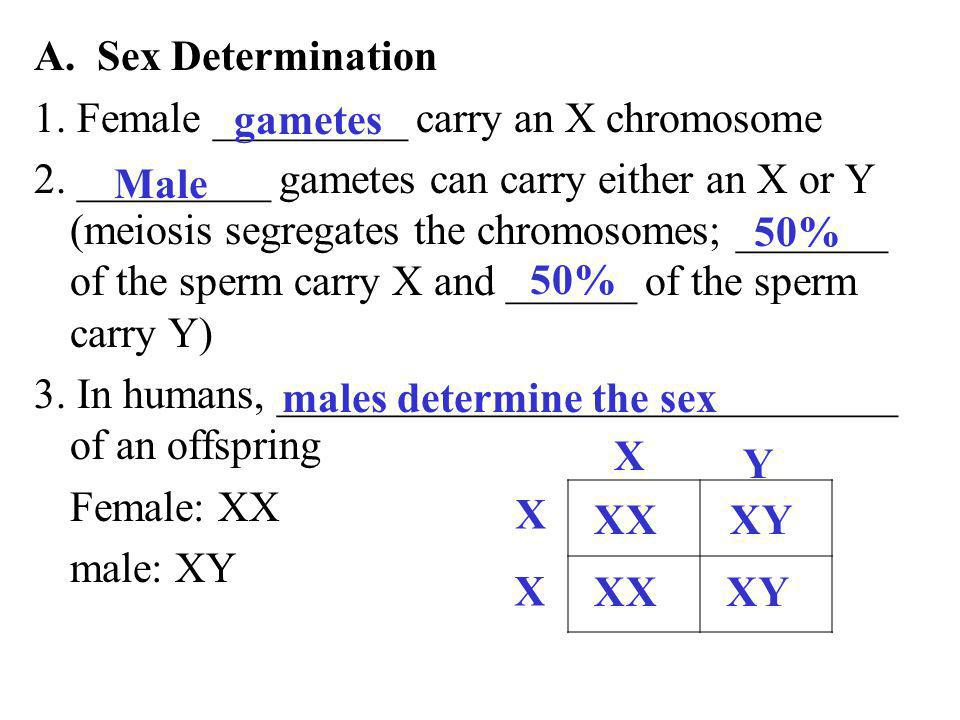 A. Sex Determination 1. Female _________ carry an X chromosome 2. _________ gametes can carry either an X or Y (meiosis segregates the chromosomes; __