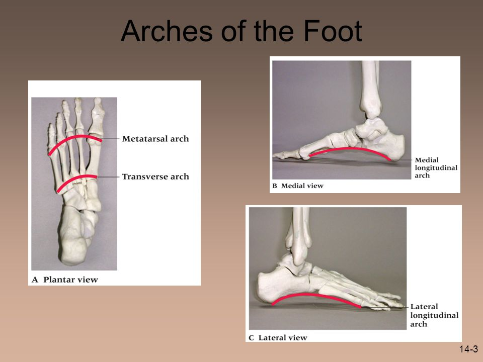 14-3 Arches of the Foot