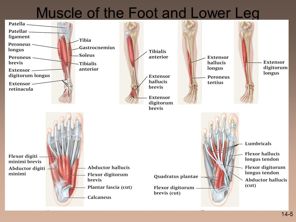 14-5 Muscle of the Foot and Lower Leg