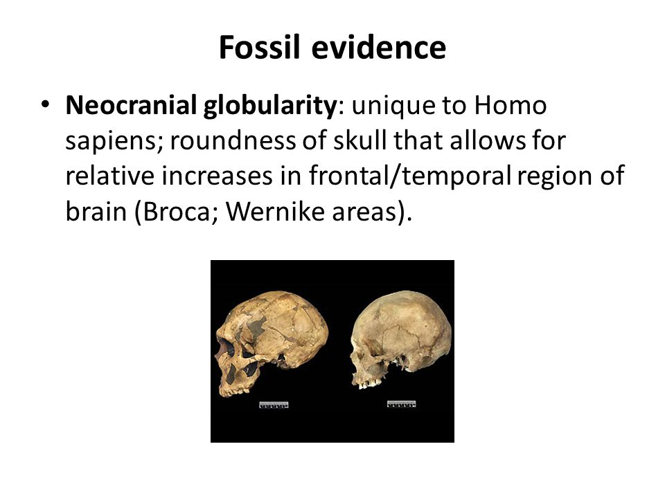 Fossil evidence Neocranial globularity: unique to Homo sapiens; roundness of skull that allows for relative increases in frontal/temporal region of br