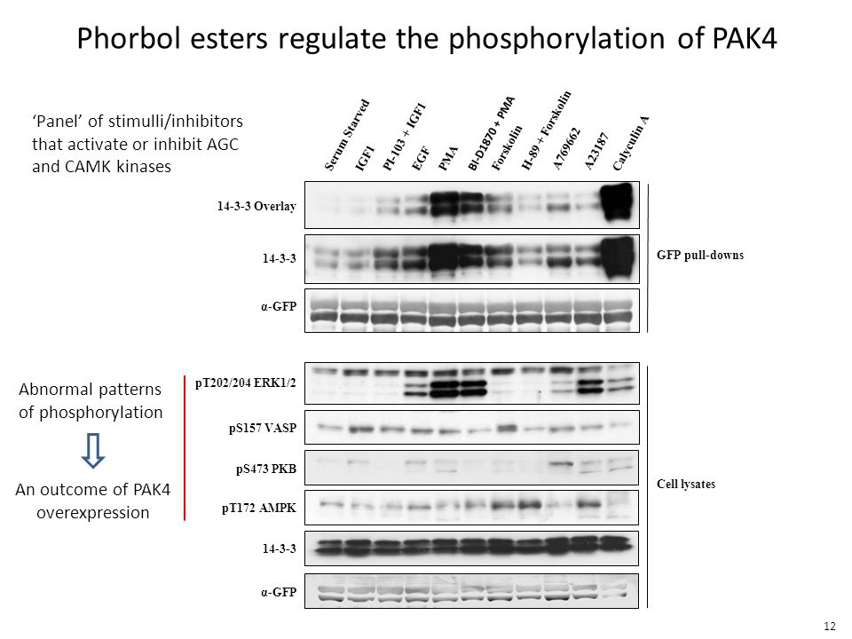 Phorbol esters regulate the phosphorylation of PAK4 BI-D1870 + PMA Serum Starved IGF1 PI-103 + IGF1 EGF PMA Forskolin H-89 + Forskolin A769662A23187 Calyculin A GFP pull-downs Cell lysates pT202/204 ERK1/2 pS157 VASP pS473 PKB pT172 AMPK 14-3-3 Overlay α-GFP 14-3-3 α-GFP Abnormal patterns of phosphorylation 'Panel' of stimulli/inhibitors that activate or inhibit AGC and CAMK kinases An outcome of PAK4 overexpression 12