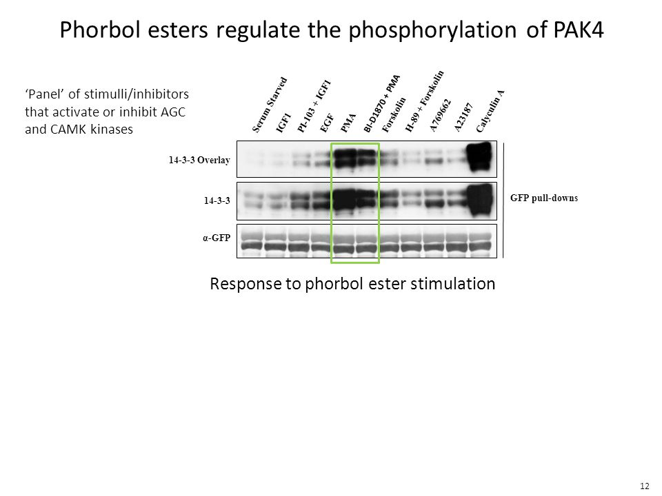 Phorbol esters regulate the phosphorylation of PAK4 BI-D1870 + PMA Serum Starved IGF1 PI-103 + IGF1 EGF PMA Forskolin H-89 + Forskolin A769662A23187 Calyculin A GFP pull-downs 14-3-3 Overlay α-GFP 14-3-3 Response to phorbol ester stimulation 'Panel' of stimulli/inhibitors that activate or inhibit AGC and CAMK kinases 12