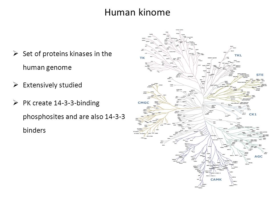 Human kinome  Set of proteins kinases in the human genome  Extensively studied  PK create 14-3-3-binding phosphosites and are also 14-3-3 binders