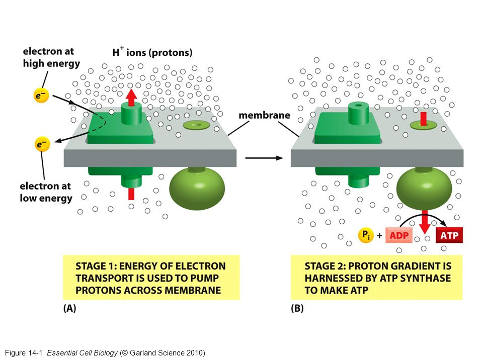 Figure 14-39b Essential Cell Biology (© Garland Science 2010)