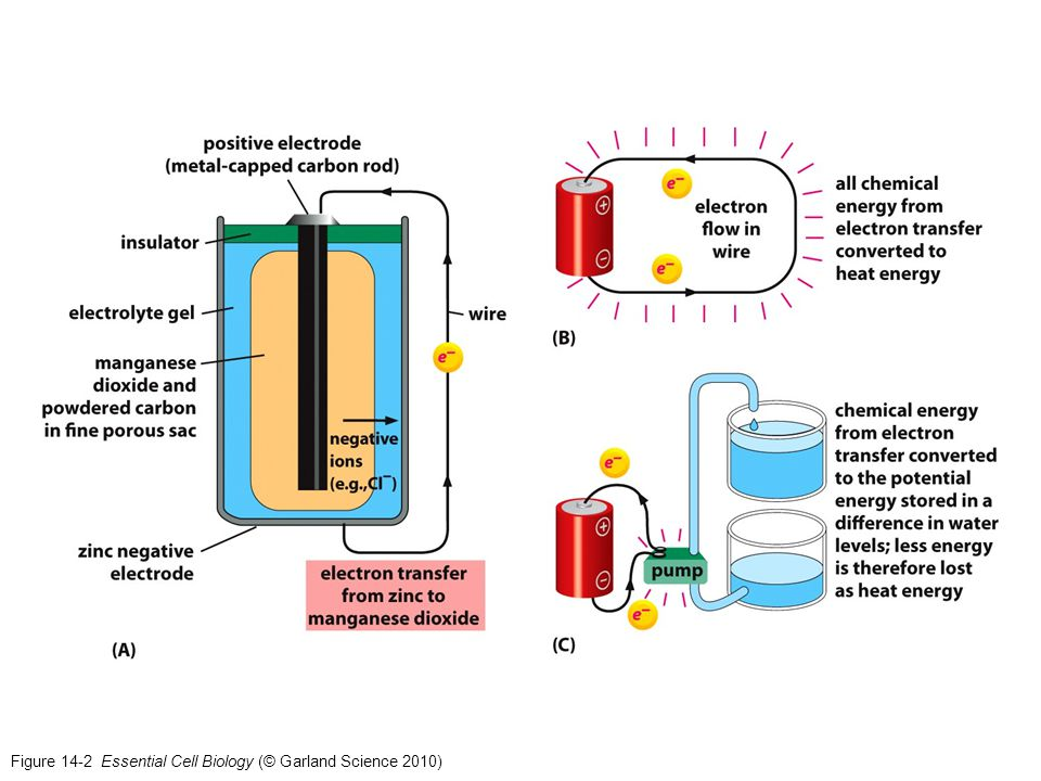 Figure 14-2a Essential Cell Biology (© Garland Science 2010)