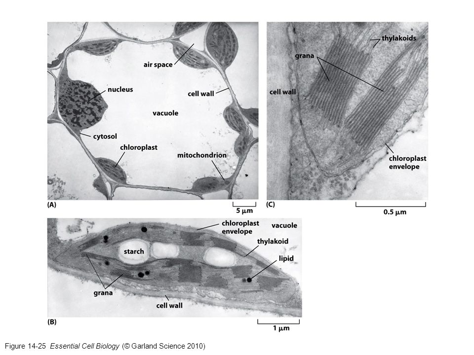 Figure 14-25 Essential Cell Biology (© Garland Science 2010)