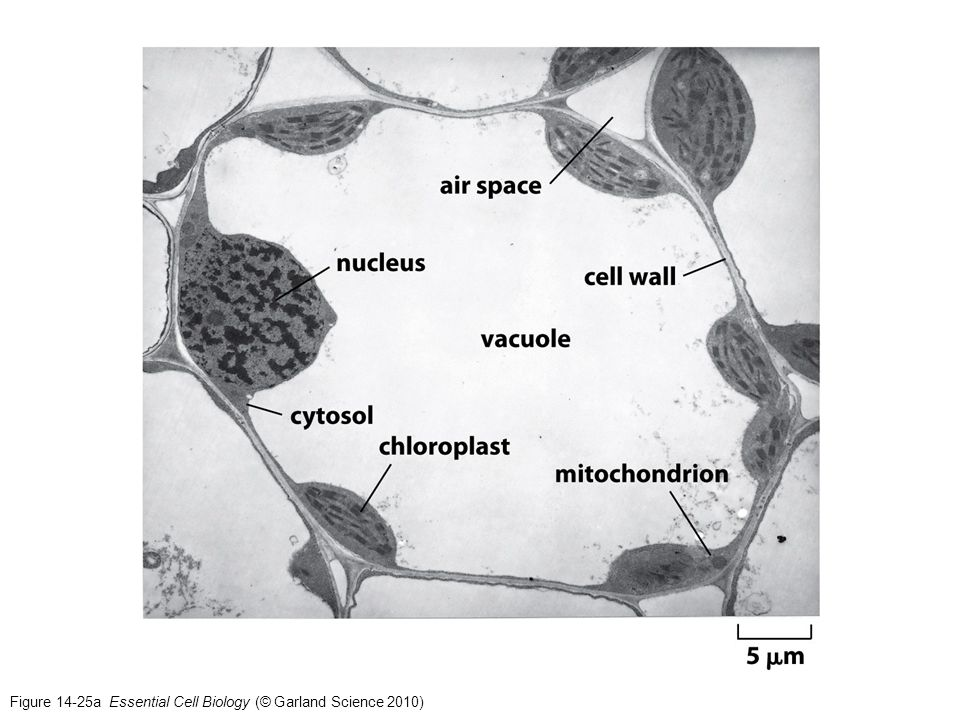 Figure 14-25a Essential Cell Biology (© Garland Science 2010)