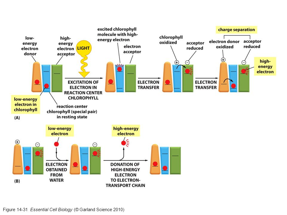 Figure 14-31 Essential Cell Biology (© Garland Science 2010)