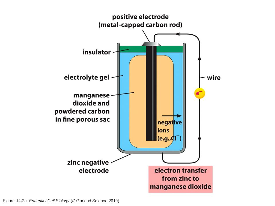 Figure 14-20 Essential Cell Biology (© Garland Science 2010)