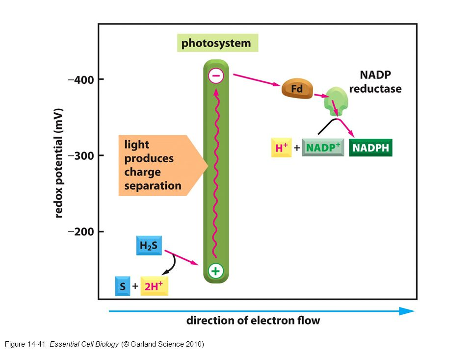 Figure 14-41 Essential Cell Biology (© Garland Science 2010)