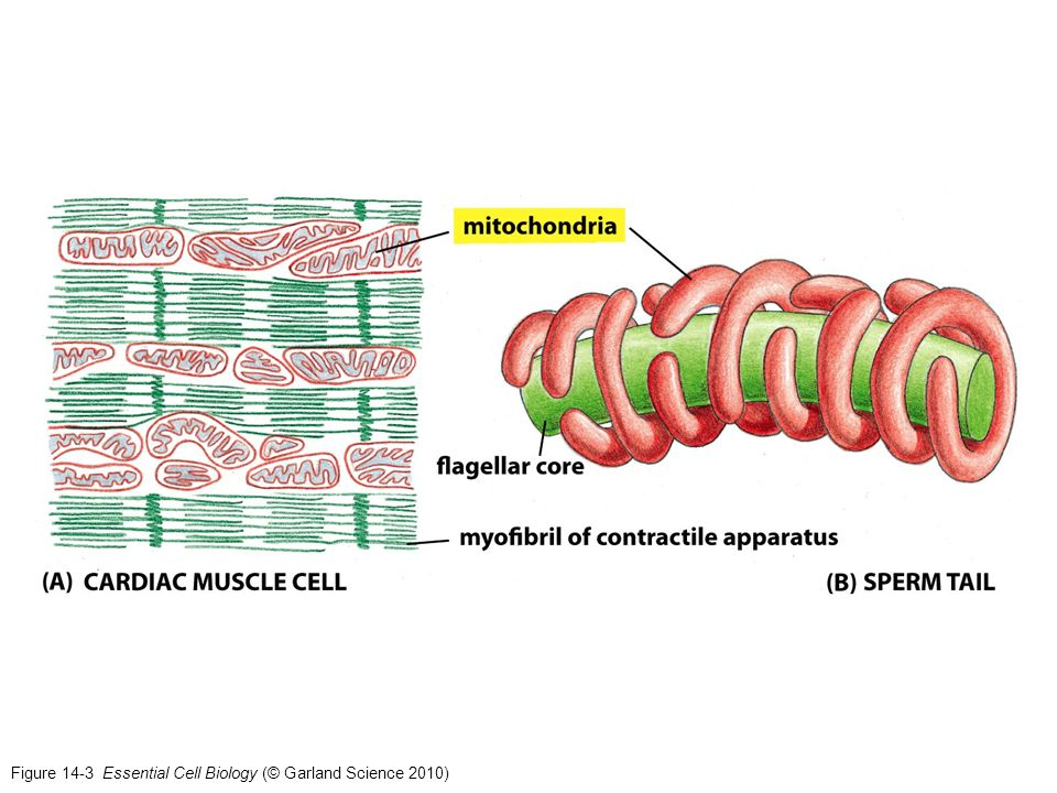 Figure 14-36 Essential Cell Biology (© Garland Science 2010)