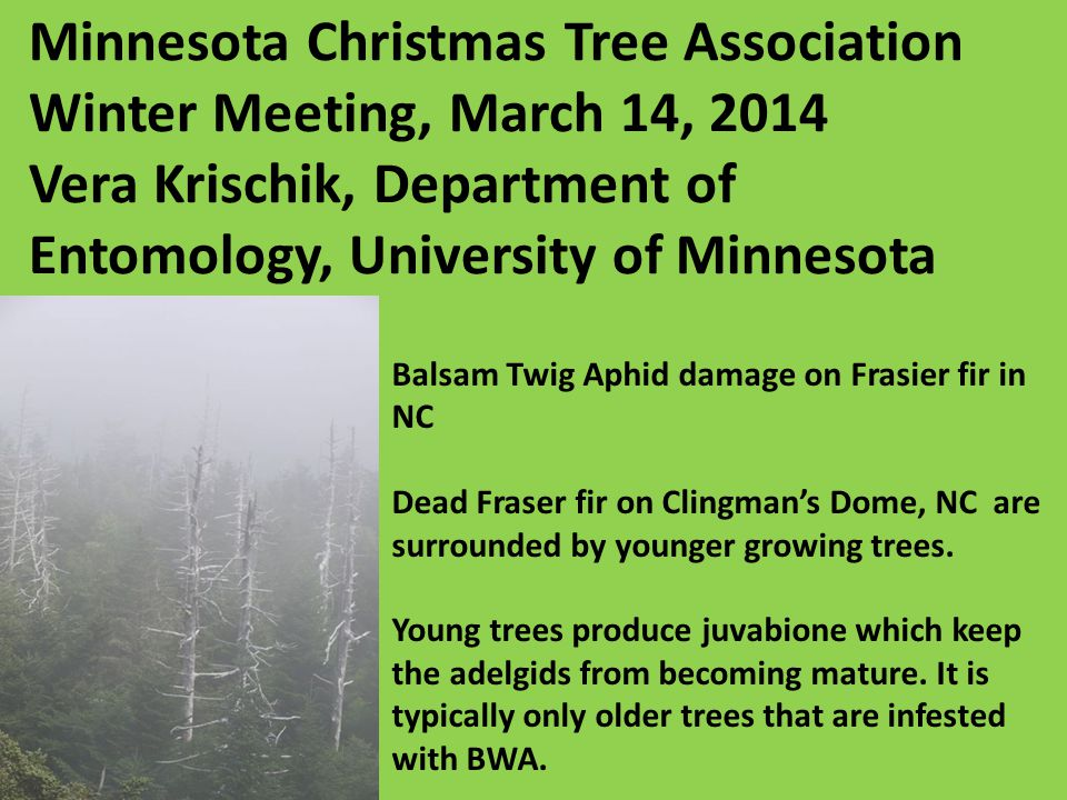 Individual Fraser fir trees vary in their resistance to spruce spider mite.