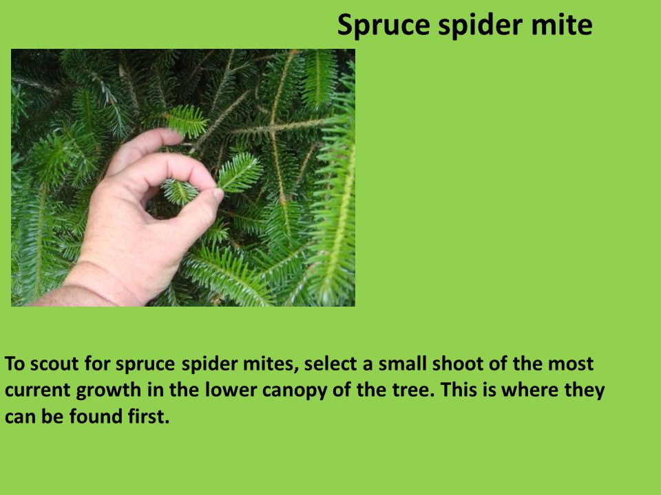 To scout for spruce spider mites, select a small shoot of the most current growth in the lower canopy of the tree.