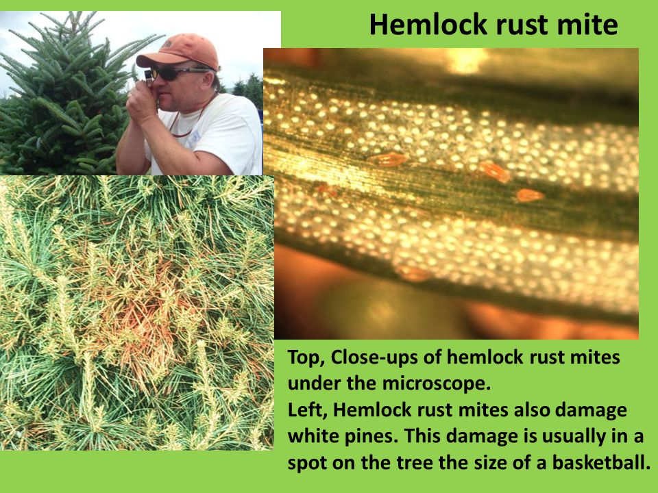 Top, Close-ups of hemlock rust mites under the microscope.