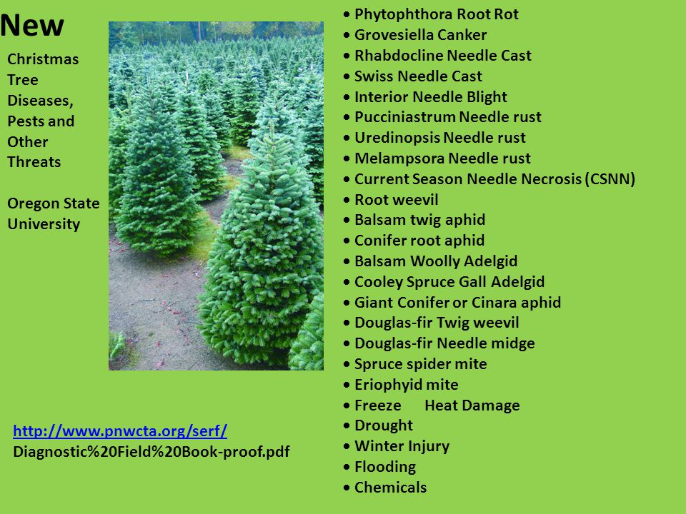 New Christmas Tree Diseases, Pests and Other Threats Oregon State University Phytophthora Root Rot Grovesiella Canker Rhabdocline Needle Cast Swiss Needle Cast Interior Needle Blight Pucciniastrum Needle rust Uredinopsis Needle rust Melampsora Needle rust Current Season Needle Necrosis (CSNN) Root weevil Balsam twig aphid Conifer root aphid Balsam Woolly Adelgid Cooley Spruce Gall Adelgid Giant Conifer or Cinara aphid Douglas-fir Twig weevil Douglas-fir Needle midge Spruce spider mite Eriophyid mite Freeze Heat Damage Drought Winter Injury Flooding Chemicals http://www.pnwcta.org/serf/ Diagnostic%20Field%20Book-proof.pdf