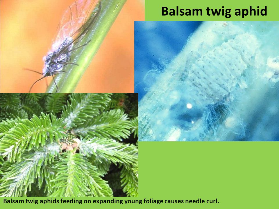 Balsam twig aphid Balsam twig aphids feeding on expanding young foliage causes needle curl.