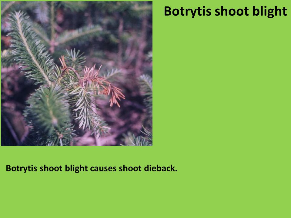 Botrytis shoot blight causes shoot dieback. Botrytis shoot blight