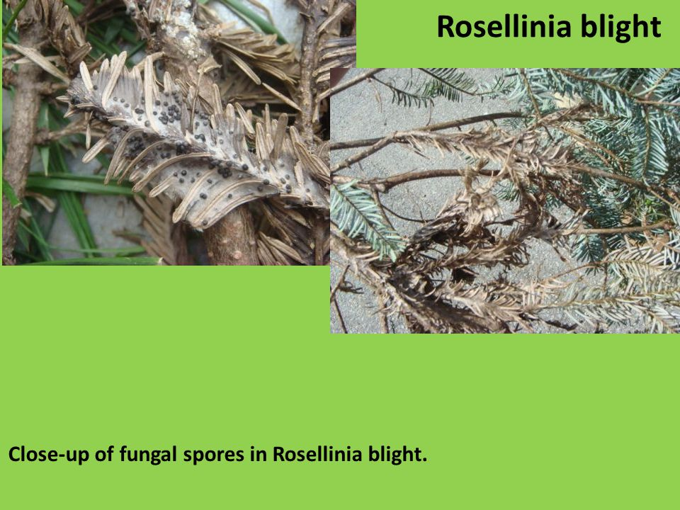 Close-up of fungal spores in Rosellinia blight. Rosellinia blight