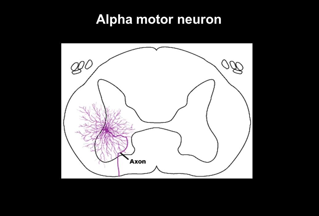 Alpha motor neuron