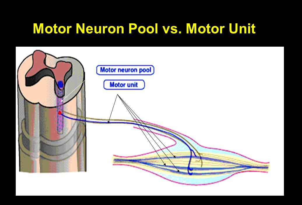 Motor Neuron Pool vs. Motor Unit