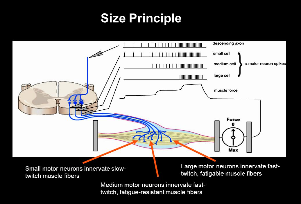 Size Principle Small motor neurons innervate slow- twitch muscle fibers Medium motor neurons innervate fast- twitch, fatigue-resistant muscle fibers L