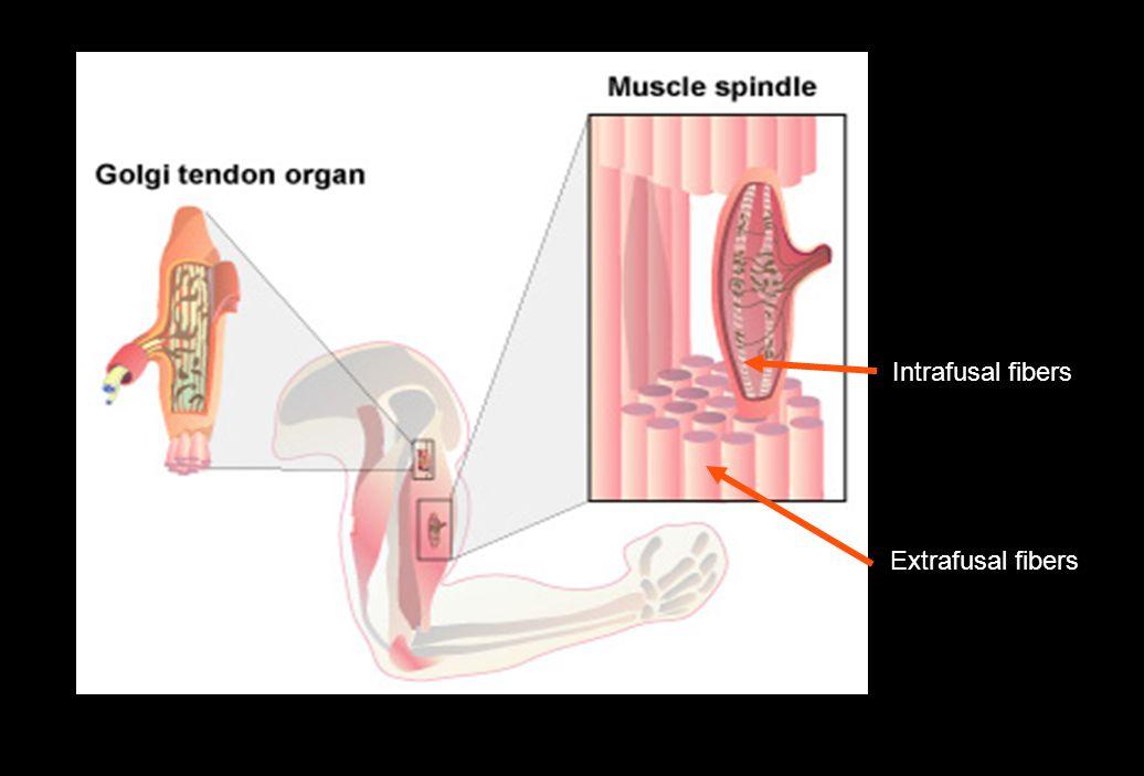 Intrafusal fibers Extrafusal fibers