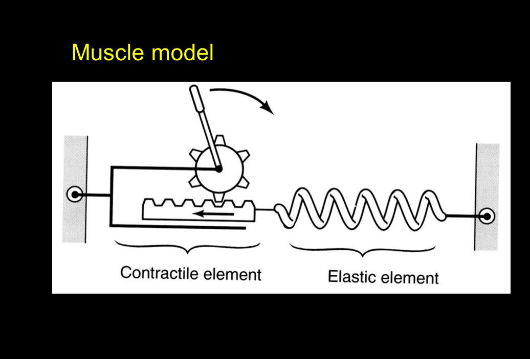 Proprioception Specialized receptors provide information about muscle: length velocity (change in length) load (force)
