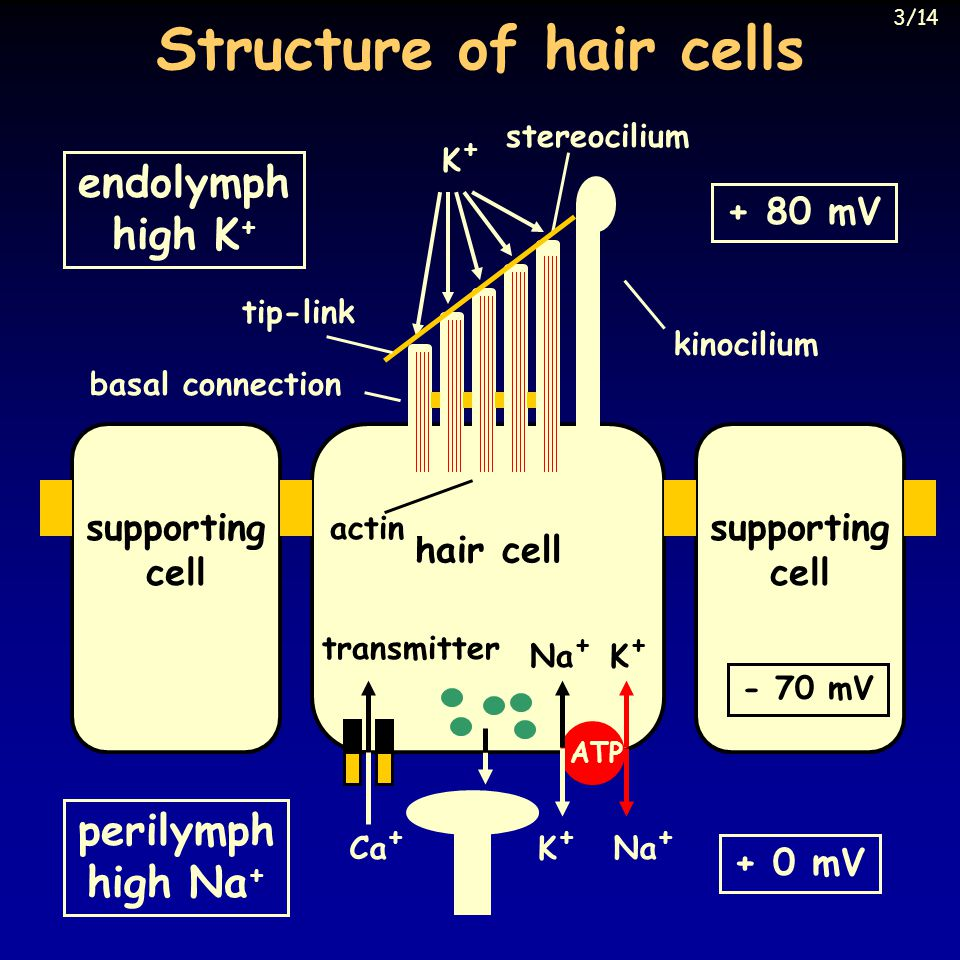hair cell stereocilium Structure of hair cells supporting cell supporting cell endolymph high K + perilymph high Na + + 80 mV + 0 mV - 70 mV K+K+ Na + K+K+ ATP K+K+ actin Ca + basal connection tip-link kinocilium transmitter 3/14