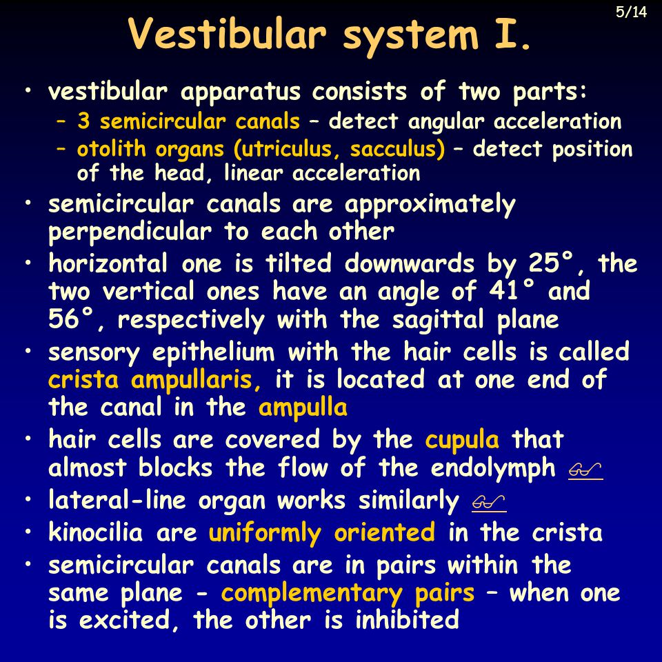 Vestibular system I. vestibular apparatus consists of two parts: –3 semicircular canals – detect angular acceleration –otolith organs (utriculus, sacc