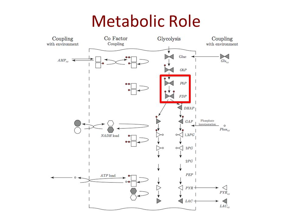 Metabolic Role