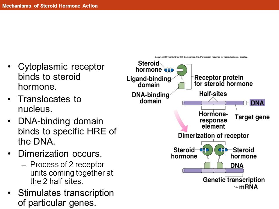 Mechanisms of Steroid Hormone Action Cytoplasmic receptor binds to steroid hormone.