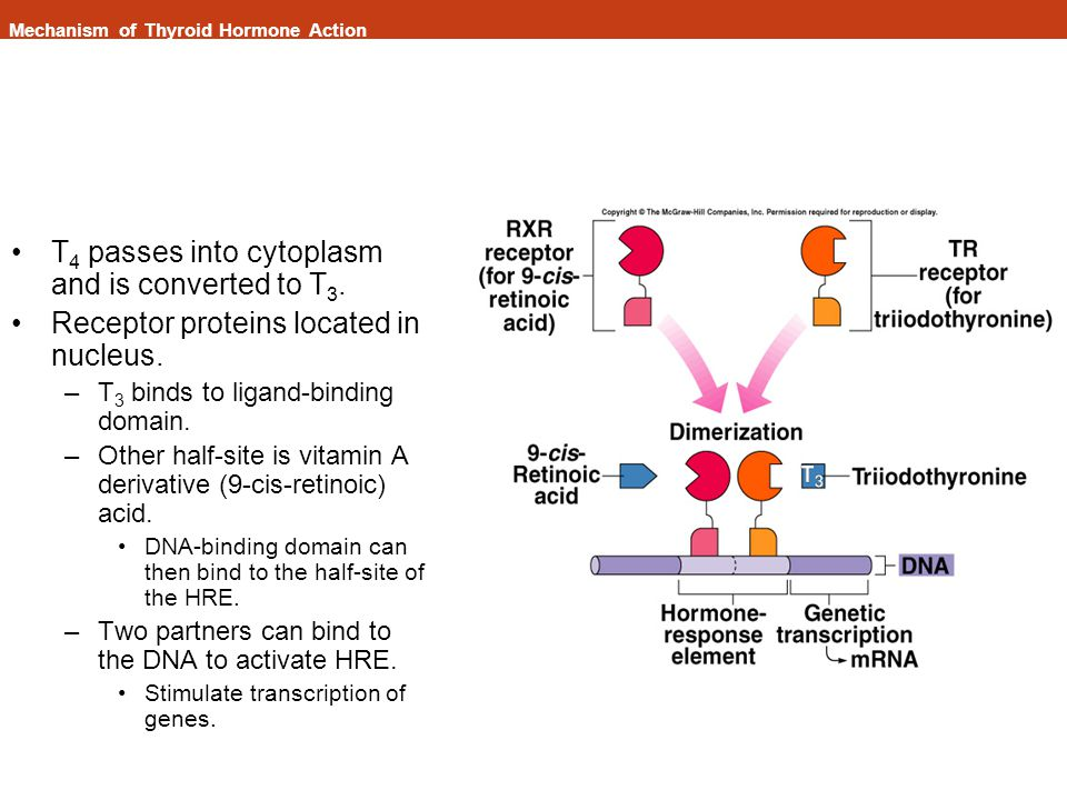 Mechanism of Thyroid Hormone Action T 4 passes into cytoplasm and is converted to T 3.