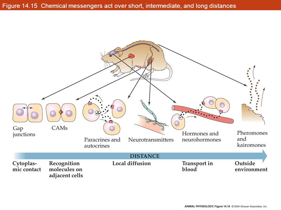 Figure 14.15 Chemical messengers act over short, intermediate, and long distances